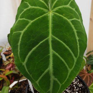Anthurium Magnificum Verde