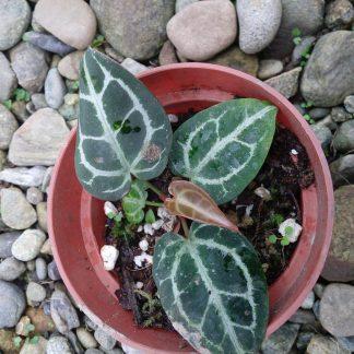 Anthurium Crystallinum Small Plant
