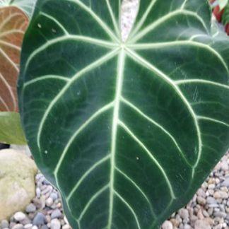 Anthurium Magnificum Large