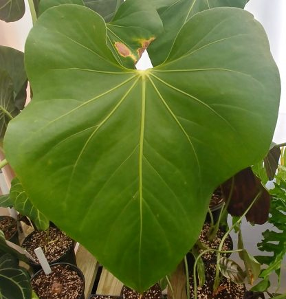 Anthurium faustomirandae Faustino's Giant