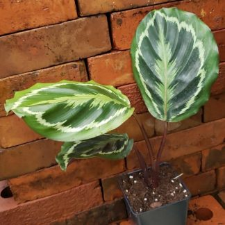 Calathea Medallion Prayer Plant