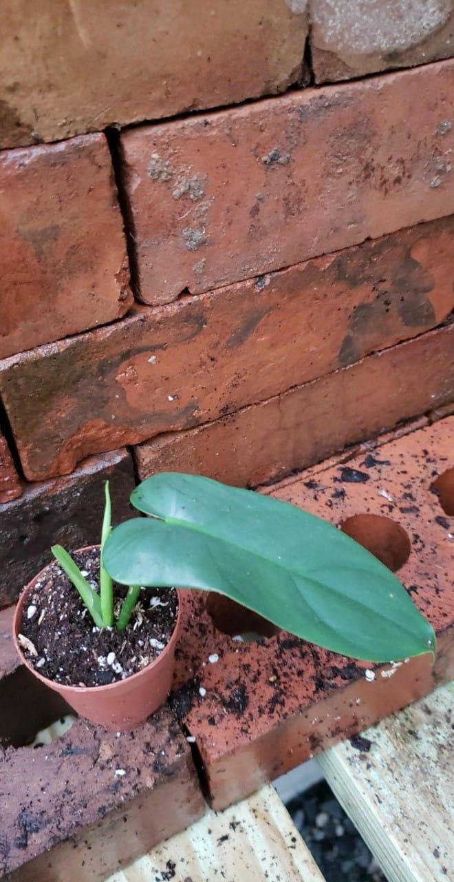 Philodendron Bipennifolium Horse Head Edencps