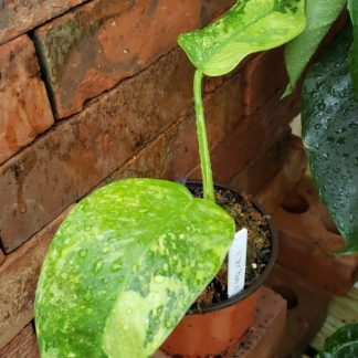 Philodendron Jose Bueno Variegated
