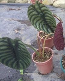 Large Alocasia Cuprea