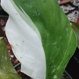 Philodendron White Knight Variegated Leaf